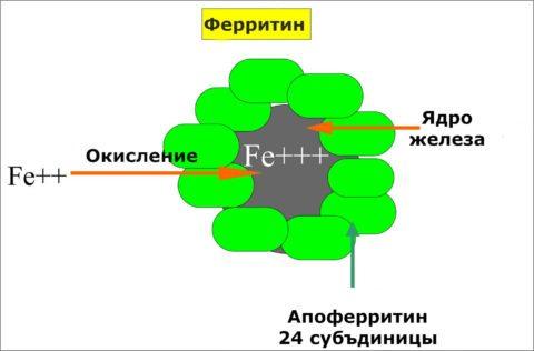Повышен ферритин форум