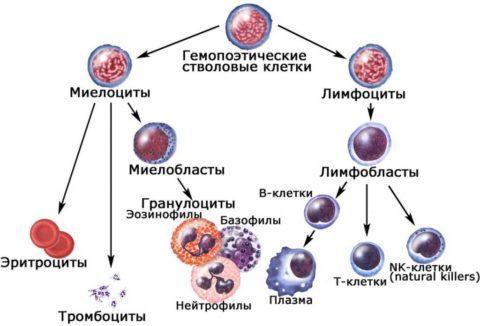 В анализе крови есть миелоциты