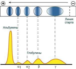 Анализ белковых фракций крови норма