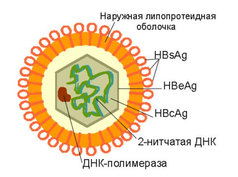 Анализ крови на гепатит в ошибки